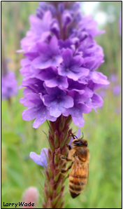 Honeybee on a Purple Wildflower